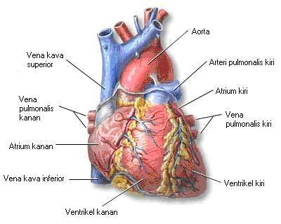 Jantung bagianluar